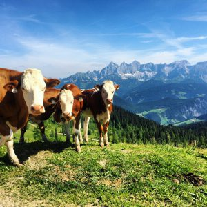 Kühe grüßen aufm dem Weg ins Tall